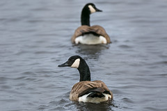 Geese (Jenna.Lynn.Photography) Tags: bird water waterfowl geese canadiangeese swimming cold coldwater birds pairofbirds upnorth animal feathers floating eos dof tamron canon 150600mm 600mm zoom 5dmark3 tamron150600 wildlife natur nature wildlifephotography