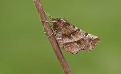 Early Thorn (Selenia dentaria). (Bob Eade) Tags: moths macromoths macro male earlythorn nature wildlife garden lepidoptera eastsussex seaford sussex southdownsnationalpark