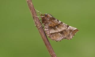 Early Thorn (Selenia dentaria).