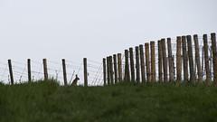 Guardian (ZeGaby) Tags: animals animaux lapin nature naturephotography pentaxk1 rabbit sigma100300mmf4 vineyards wildlife fontainesuray grandest france fr