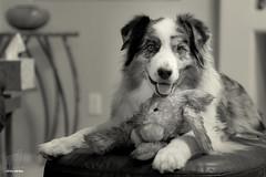 Roger Redux (Jasper's Human) Tags: australianshepherd aussie dog pet rogerrabbit ottomanempire