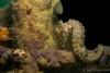 Seahorse (JLoyacano) Tags: canong7x fantaseaunderwaterhousing jacobloyacano nudibranch coralmimic diopter diving kwinana kwinanagrainterminal macro macrophotography nudi perth scuba scubadiving seahorse underwater underwaterphotography
