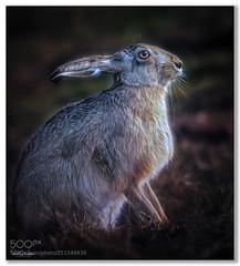 Enjoying the Sunshine .... - by paulkeates (KevinBJensen) Tags: hare north norfolk animals nature posing paul keates risu