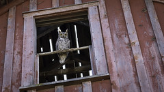 So What (Flint Roads) Tags: or oregon abandoned barn decay detail deteriorated owl red rural window yellow
