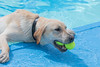 Two at once (feefoxfotos) Tags: dogs exercise water swimmingpool swim fetch wet
