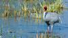 Sarus Crane (raveclix) Tags: raveclix india incredibleindia canon canon5dmarkiii canonef100400mmf4556lisiiusm keoladeonationalpark keoladeoghananationalpark bharatpurbirdsanctuary bharatpur rajasthan saruscrane grusantigone