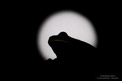 Un soir de pleine lune... (stofmania) Tags: christopheaubin hyla rainette stofmania amphibian amphibien frog grenouille lune molleri moon night nuit