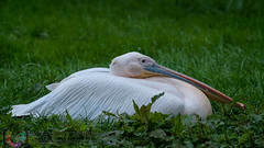 Great White Pelican on the ground in the grass at dusk under a misty rain (Steve Troletti™ Nature & Wildlife Photographer) Tags: beak big bird birding blue dirt droplets drops dusk europe eye feathers grass gray grey long nature outdoor outdoors outside rain red tall wet white wild wilderness yellow