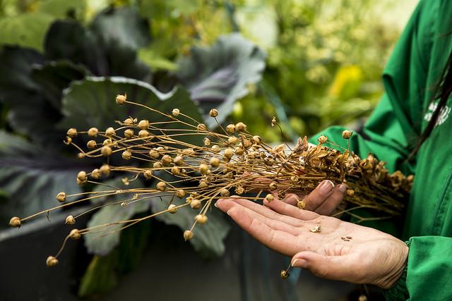 Extracción de semillas