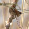 Ouch (stellagrimsdale) Tags: wren bird birdphotography birding wildlife animal nature walthamstowwetlands feathers detail tiny tinybird rose rosethorns thorns songbird wingedwednesday birdwatcher