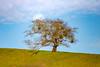 Mendocino County Moonrise (pixelmama) Tags: california hwy128 mendocinocounty moonrise pixelmama oak oaktree nikond610 nikon landscape march2018 spring moon
