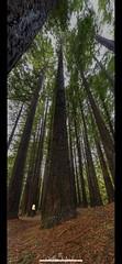 Feeling small at the Californian Redwoods (nathanmeade_) Tags: otwaystreeredwoodforrestpentaxpentaxiank1capturepentaxk1