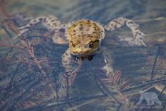 European Toad (fascinationwildlife) Tags: animal common toad europe european water pond laich spawn kröte erdkröte teich munich bayern bavaria deutschland germany wild wildlife nature natur forest spring amphibian