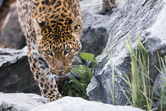 North Chinese Leopard (Soren Wolf) Tags: north chinese leopard big cats cat close up 300mm nikon d7200 feline looking angry pet animal grass animals