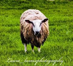 32832701_10156426840323756_4211087594026434560_n (laura_lumixphotography) Tags: sheep dragonstone cliffs ireland northern travel animals copyright
