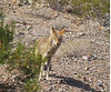 192. Coyote (1000 Wildlife Photo Challenge) Tags: coyote wildlife wild deathvalley furnacecreek californa