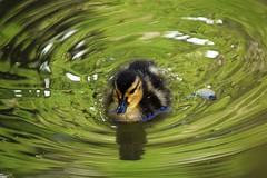 Ripples (marensr) Tags: university chicago botany pond bird duckling mallard duck water ripples green animal nature spring may
