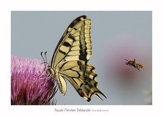 Machaon ou Grand porte-queue (Papilio machaon) et Abeille solitaire