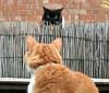 Ray Meet Billy - Billy Meet Ray (Bigbird3) Tags: neighbourscat ray billy