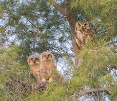 Family Portrait (dan.weisz) Tags: owl greathornedowl owlet nest bird birdofprey raptor tucson