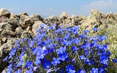 Flores en mayo (lino azul) campos de Aragón (España). (joseange) Tags: flores veronica flowers