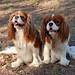 Cavalers (Svetla (ribonka 78)) Tags: dog dogs animals