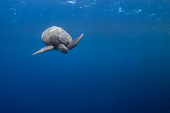 Diving turtle (Lance Sagar) Tags: bunaken indonesia ocean sea asia pacific manado sulawesi freediving apnea underwater water sony rx100 ikelite inon