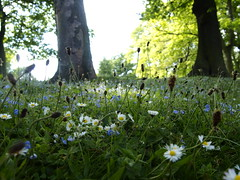 Wild flowers in the grass at Lister Park (Mel_is_Moving) Tags: epl6 olympus pen trees outside daisy flowers green outdoor grass speedwells bradford westyorkshire uk