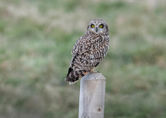Short-eared Owl (tickspics ) Tags: dorset birds typicalowls portland uk shortearedowl asioflammeus strigidae