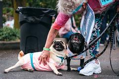 PugCrwal-18 (sweetrevenge12) Tags: portland oregon unitedstates us pug parade crawl brewing sony pugs dog pet