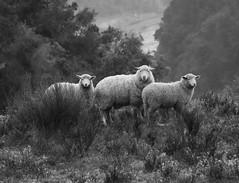 Family Portrait (Harald Philipp) Tags: sheep family blackwhite blackandwhite monochrome river tranzalpine train rail nikon d810 schwarzweiss