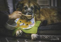 21/52 - mealtime is a happy time 😋 (yookyland) Tags: 52weeksfordogs 2018 misty 2152 senior dog mealtime bib spoon