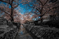 The Philosopher's Path (Bauer Florian) Tags: japan philosopher path water black white colour cherry blossom travel tree kyoto sony ilce7rm2