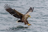 Mull White Tailed Sea Eagles (Adam Sibbald) Tags: mull white tailed sea eagles wtse nikon d500 200500 nature bop bird prey hunter loch