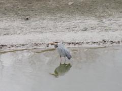 On the hunt (trilliumgirl) Tags: salmon arm shuswap bc british columbia canada great blue heron bird