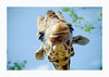 Giz A Kiss (salar hassani) Tags: giraffe kiss portrait head