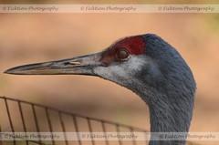 Eye Membrane (ficktionphotography) Tags: sandhillcrane crane bird salisburyzoo birdphotography eyemembrane beak