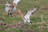 Godwit fight (fire111) Tags: godwit grutto bird birding wild wildlife belgium flight fight
