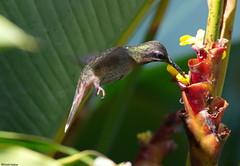 Rufous-tailed Hummingbird - Ariane à ventre gris (Sylvain Nadeau) Tags: birds colombie oiseaux