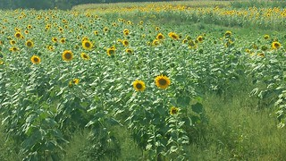 Sunflowers Galore!