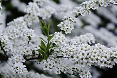 Spiraea (OgniP) Tags: blossom flower white