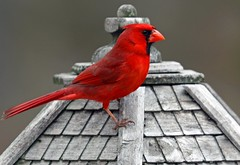 red bird (bnbalance) Tags: cardinal nature red spring male vibrant bright perch wooden gazebo beautiful amazing birdhouse