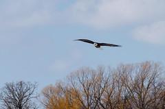 Bald Eagle (janelle.streed) Tags: baldeagle eagle haliaeetusleucocephalus birds animals wildlife nature outdoors minnesota spring