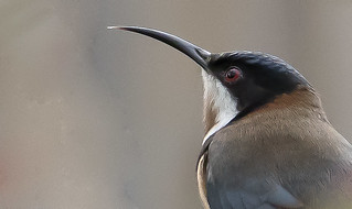 Eastern Spinebill, Melbourne