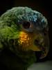 Jacotte - amazone (damien.le.grevellec) Tags: epl3 parrot