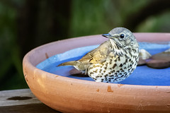 Song Thrush 2018-04-09 (7D_182A5664) (ajhaysom) Tags: songthrush turdusphilomelos greenvale backyard birdbath melbourne australia australianbirds canoneos7dmkii tamron150600mmf563divcusdg2