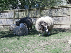 P4190184 (Steve Guess) Tags: horniman museum park grounds foresthill london england gb uk sheep