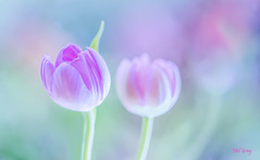 Candy-tulips_DSC4331 (Mel Gray) Tags: flower flowermacro flowers flowersarebeautiful macroflower macroflowerlovers nature naturallight naturalmacro nikon105mmmacro nikond850