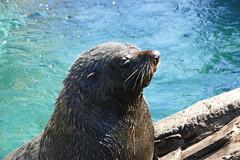 South American Fur Seal (kalbarrie2012) Tags: seal torquay livingcoasttorquay