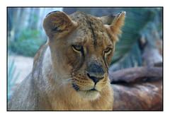 Miss lionne -  Miss Lioness (diaph76) Tags: extérieur lionne lioness animal espagne spain canaries canaryislands ténérife zoo coth5